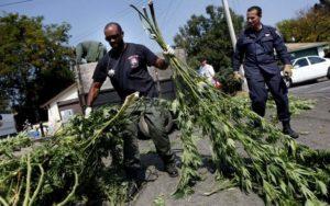 police-marijuana-raid